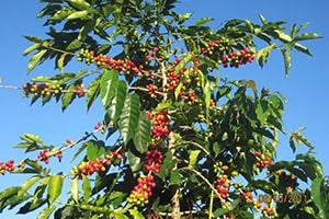 Les baies rouges du caféier