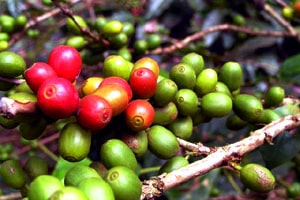 baie de caféier robusta ou arabica